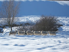 Sheep in the Dene
